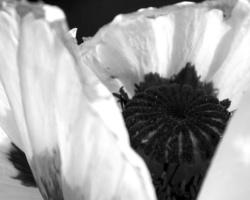 Маки-2017. Фото - Светлана Мурси-Гудёж